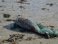 dead dolphin in fishing net