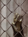 monkey's hand on fence